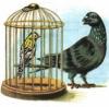 Чиж и голубь
